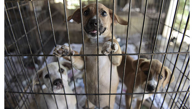APTOPIX Puerto Rico Hurricane Abandoned Animals_1518453389527