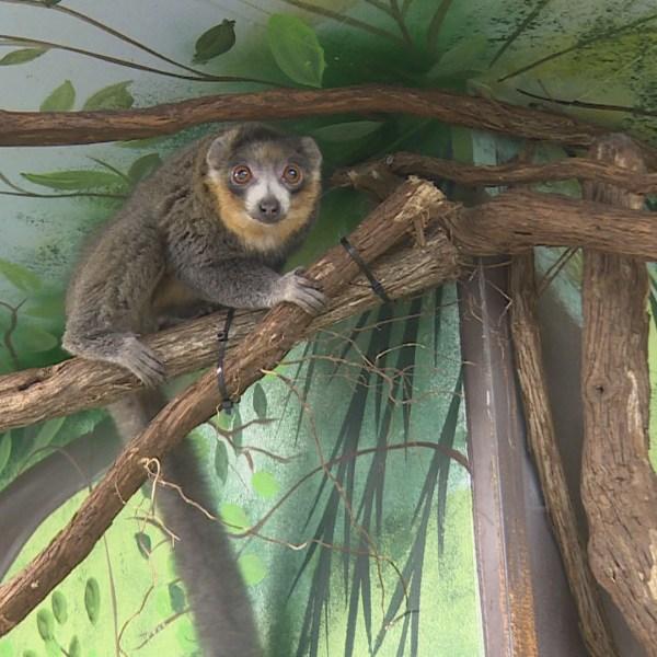 mongoose lemur.jpg