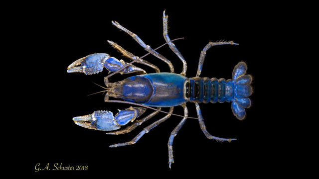 New crayfish species _1548365138513.jpg_68587505_ver1.0_640_360_1548368126525.jpg.jpg