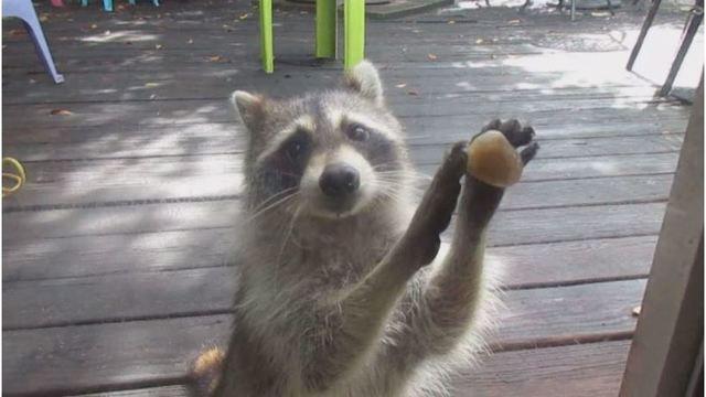 raccoon_1524152337950.jpg