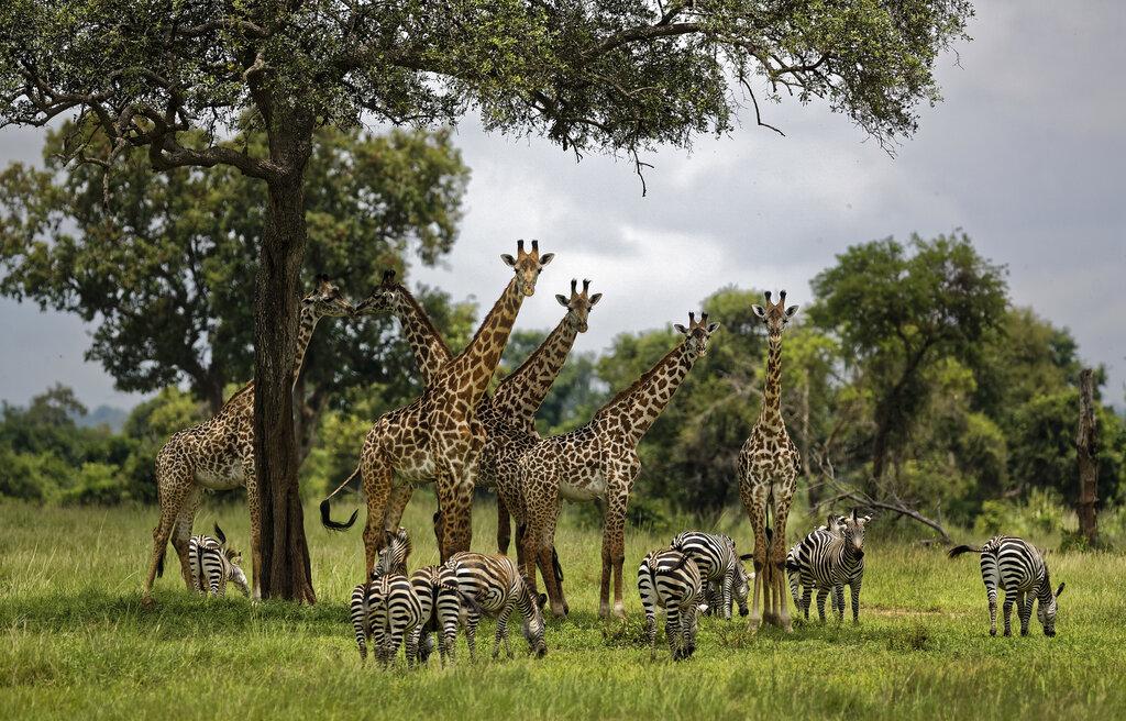 Trump Giraffes Endangered_1556210040240