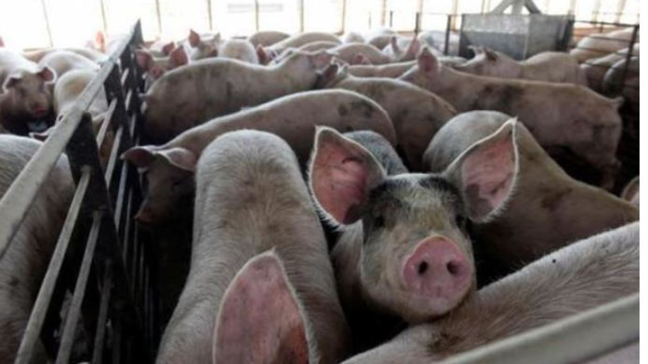 Farmers will have to euthanize millions of pigs as meat ...